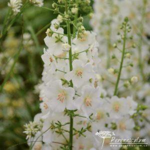 Verbascum phoeniceum Flush of White