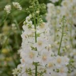 Verbascum phoeniceum Flush of White