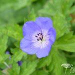 Geranium Jolly Bee
