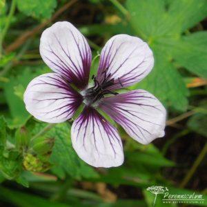 Geranium Salome
