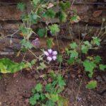Geranium Sue Crug