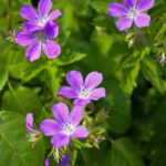 Geranium sylvaticum Mayflower