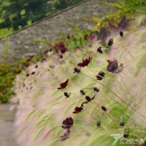 Aberglasney Gardens - letnickovy zahon