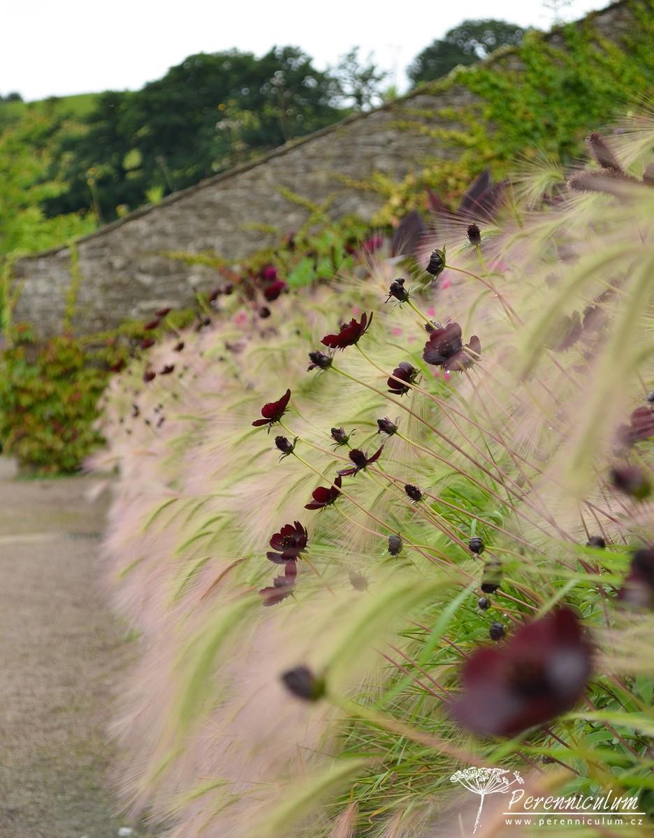 Z boku záhon připomíná valící se zpěněnou mořskou vlnu neoucí na břeh kamínky a mušle v podobě drobných kvítků krásenek (Cosmos atrosanguineus 'Chocolate') či sporýšů (Verbena bonariensis 'Lollipop').