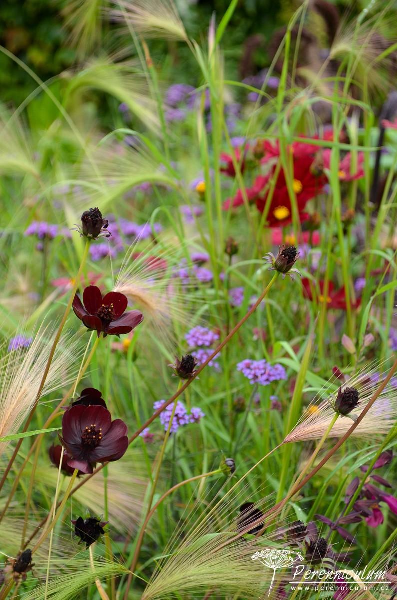 V popředí drobné květy krásenky (Cosmos atrosanguineus 'Chocolate') se prolínají s klasy ječmene (Hordeum jubatum) a fialovými květy sporýše (Verbena bonariensis 'Lollipop' ).