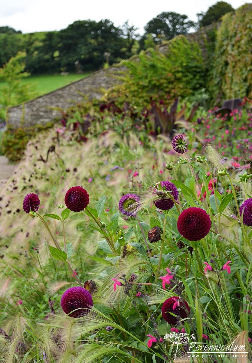 V záhonu figurovaly také tři druhy jiřin - zde pomponkovité tmavě vínové květy Dahlia.