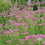 Achillea millefolium Lilac Beauty