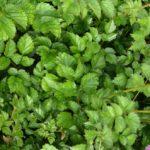 Astilbe chinensis var. taquetii Superba