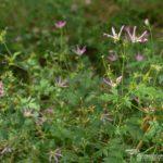 Geranium × oxonianum f. thurstonianum David McClintock