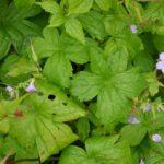 Geranium nodosum Svelte Lilac