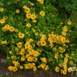 Helenium Butterpat