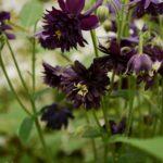 Aquilegia vulgaris var. stellata Black Barlow
