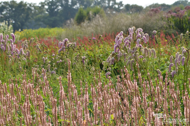 V jemných pastelových barvách se odehrává záhon s kvetoucím rdesnem (<em>Persicaria amplexicaulis</em> 'Rosea'), sladce růžovými chomáčky krvavce (<em>Sanguisorba</em> 'Pink Brushes') a v pozadí opět rdesno, tentokrát teple červený kultivar 'Firedance'.