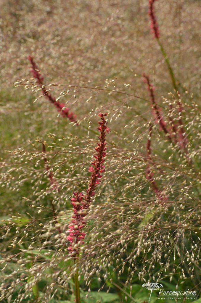 Úzké květenství rdesna (Persicaria amplexicaulis) vynikají v rozevlátých klasech trávy Sporobolus heterolepis.