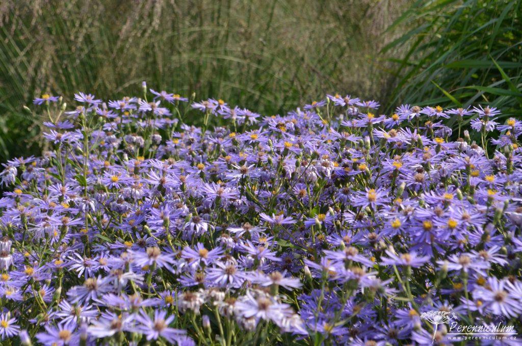 V zahradě se přirozeně míchají jak směsné výsadby (u nás nejčastěji používaný tzv. perennemix) a výsadby v blocích (klasické perenové rabato). Na obrázku vidíme velký blok podzimní astry (Eurybia macrophylla 'Twighlight').