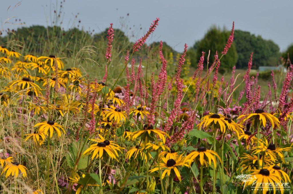 Kombinace odlišných textur - sluníčkové paprsky třapatky (Rudbeckia) a úzká vertikální květenství rdesna (Persicaria amplexicaulis).