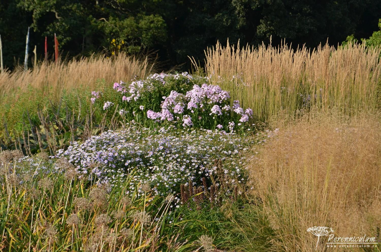 V prérijních záhonech najdou své místo i tradiční trvalky jako plamenky (Phlox paniculata). Zde doplněné různými druhy okrasných trav a v tónu zbarvenými podzimními astrami.