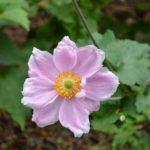 Anemone x hybrida Konigin Charlotte