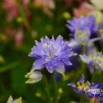 Aquilegia vulgaris Clementine Blue
