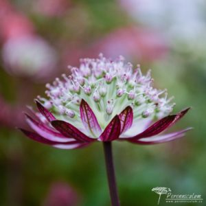 Astrantia Star of Passion