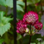 Astrantia major Gill Richardsor Group