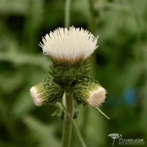 Cirsium rivulare Frosted Magic
