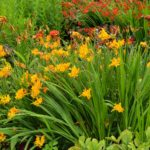 Crocosmia Walberton Yellow