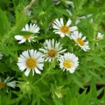 Symphyotrichum novae-angliae Herbstschnee