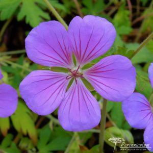 Geranium Blue Sunrise