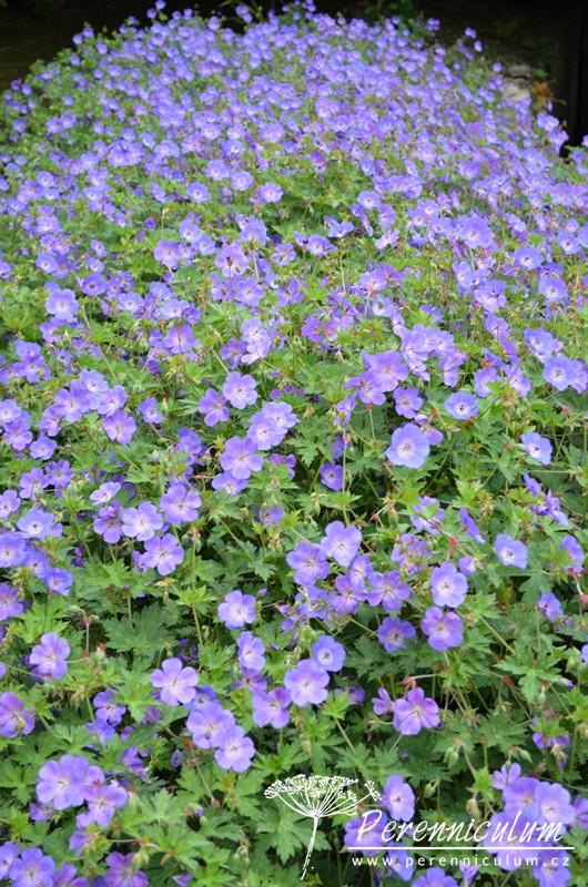 Geranium 'Rozanne' produkuje velké množství květů v rekordně dlouhé době.