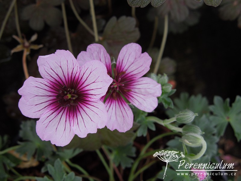 Geranium cinereum 'Thumbling Hearts'.