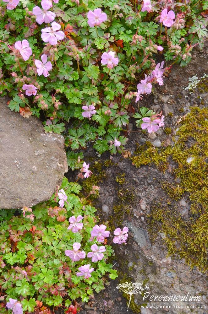 Geranium dalmaticum prosperuje na suchých stanovištích, ve skalkách či ve štěrku.