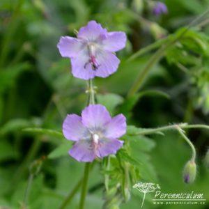 Geranium phaeum Walkure