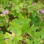 Geranium phaeum var. lividum Majus