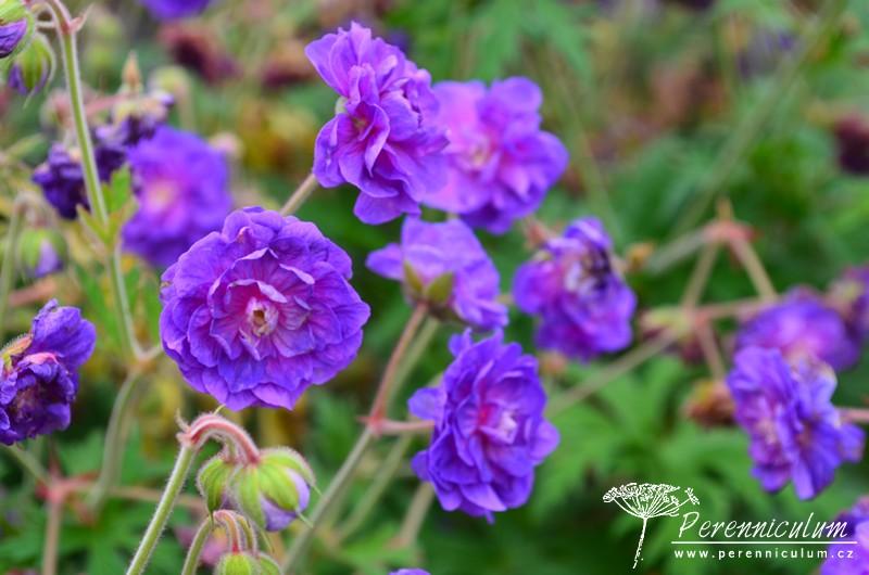 Geranium pratense Plenum Violaceum_