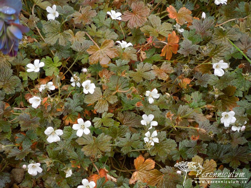 Geranium sessiliflorum 'Sanne' s čokoládově hnědými listy.