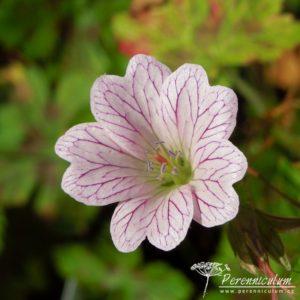 Geranium × oxonianum 'Walter's Gift'