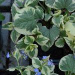 Brunnera macrophylla Dawson's White