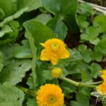 Caltha palustris Plena