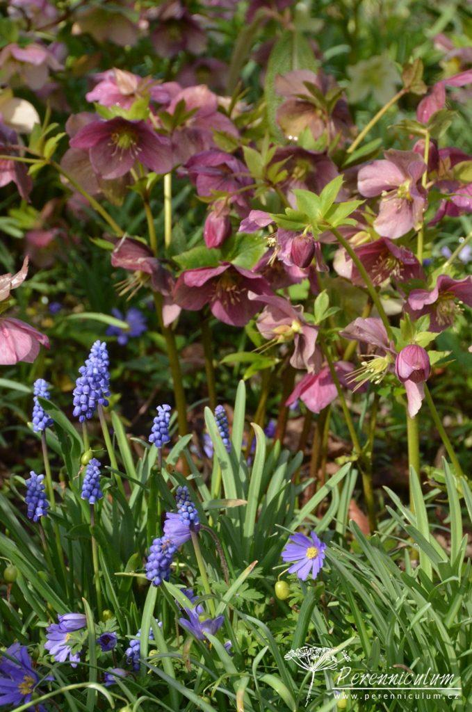 Odkvétající purpurové čemeřice Helleborus doplňují modře nakvétající modřence (Muscari) a fialové sasanky (Anemone blanda).