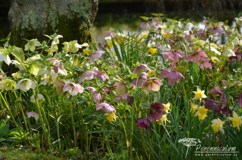 Kombinace čemeřic <em>Helleborus</em> a narcisů <em>Narcissus</em>, mezi nimi vyrůstají kapradiny.