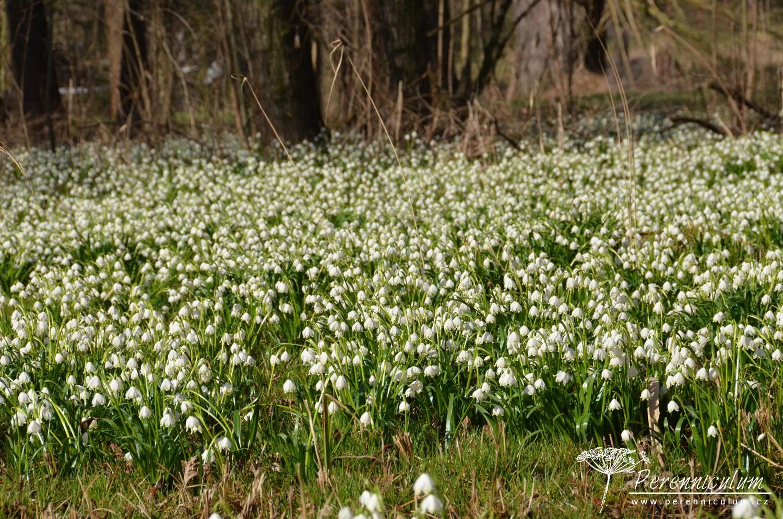 Přírodní památky Třebichovická olšinka se záplavou bledulí jarních (<em>Leucojum vernum</em>).
