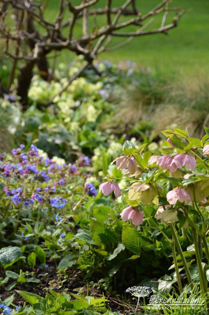 Tentokrát světle narůžovělé čemeřice Helleborus doplňují modré a růžové květy plicníku (Pulmonaria).