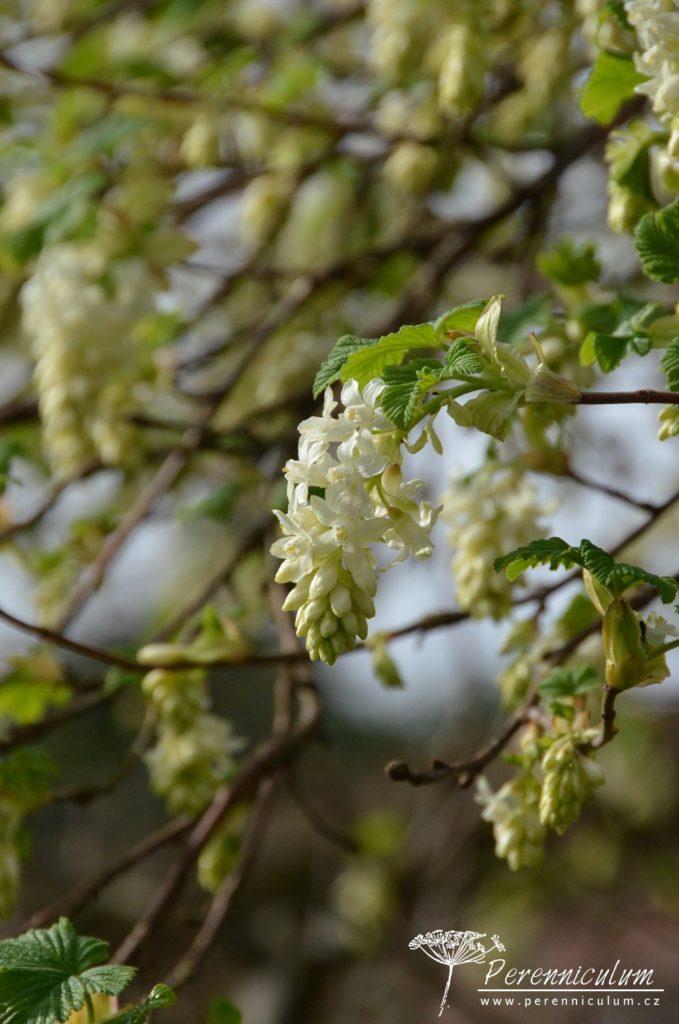 Bíle kvetoucí variety meruzalky krvavé (Ribes sanguineum).