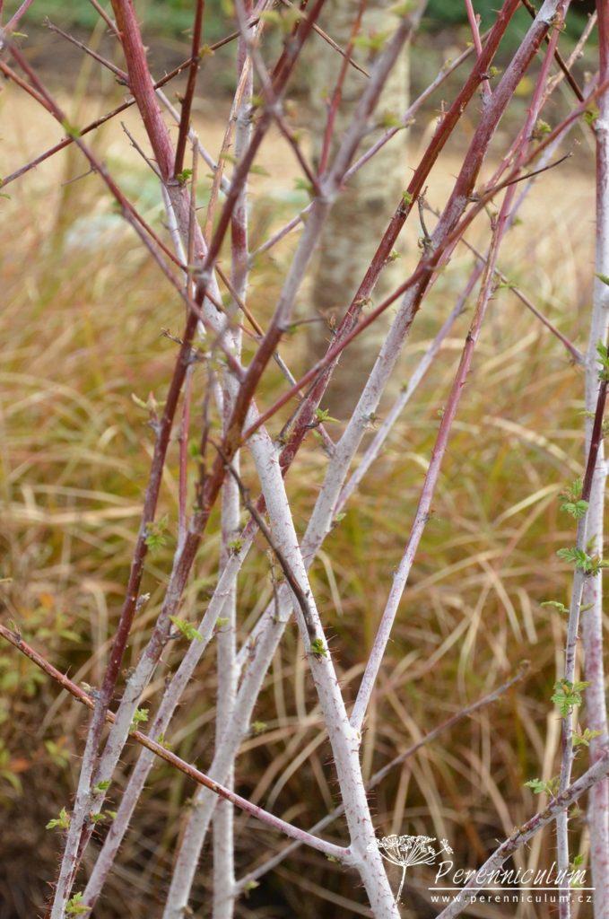 Rubus thibetanus