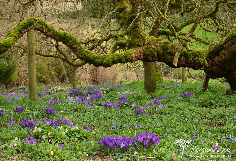 Stará majestátní moruše se sklání nad rozkvetlými šafrány <em>Crocus</em> a prvosenkami <em>Primula vulgaris</em>.