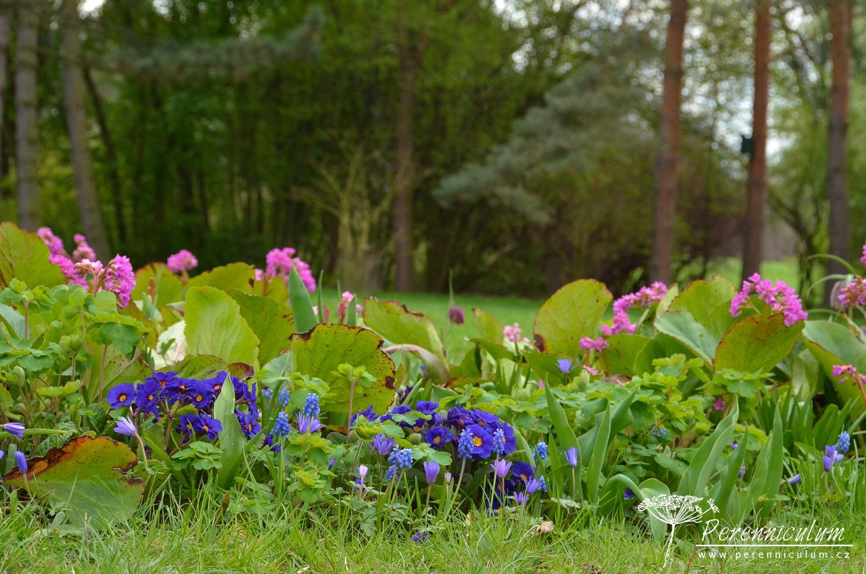 Jarní mix růžových zvonků bergénie, modřenců a sasanek.