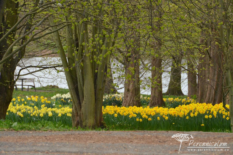 Záplavy narcisů (<em>Narcissus</em>) v Dendrologické zahradě v Průhonicích.