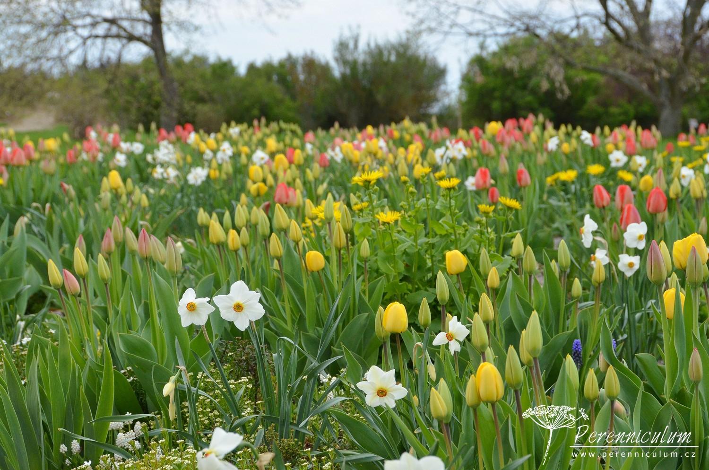 Ve štěrkových záhonech dokvétaly narcisy a chystaly se je vystřídat tulipány.