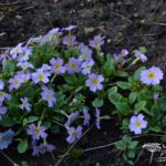 Primula vulgaris var. sibthorpii